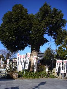 御神木である楠木の大木