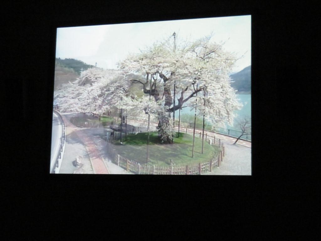 ドキュメンタリー映画の一幕、荘川桜の画像
