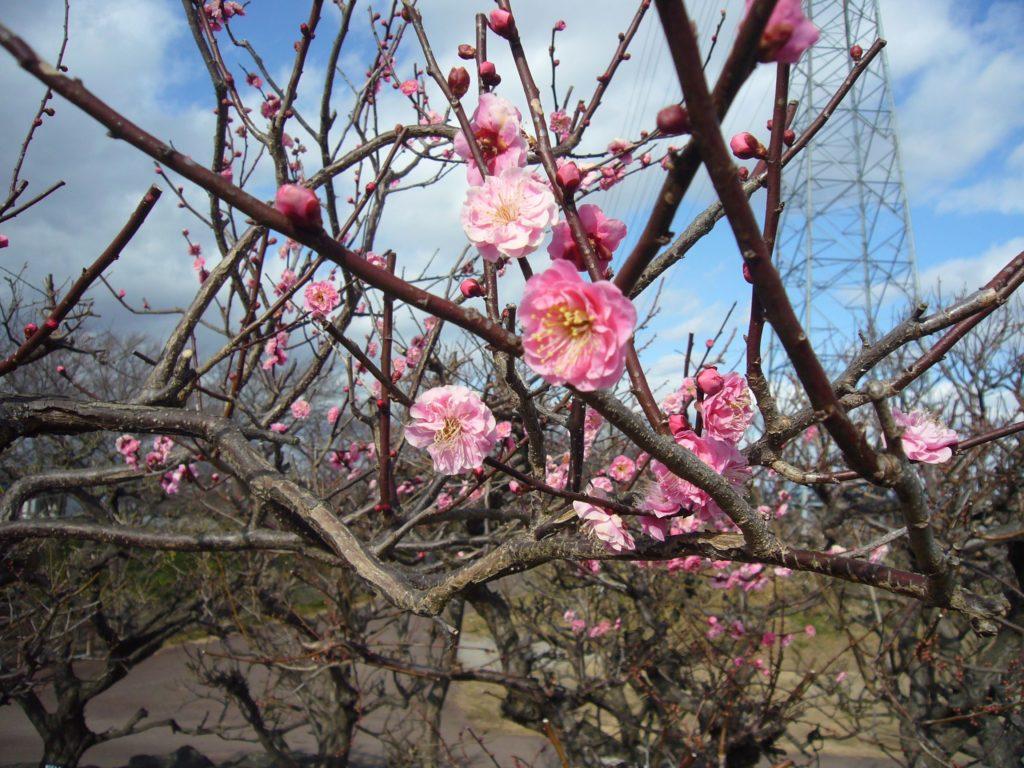 ピンク色の八重咲きの梅