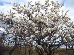白色の八重咲きの梅