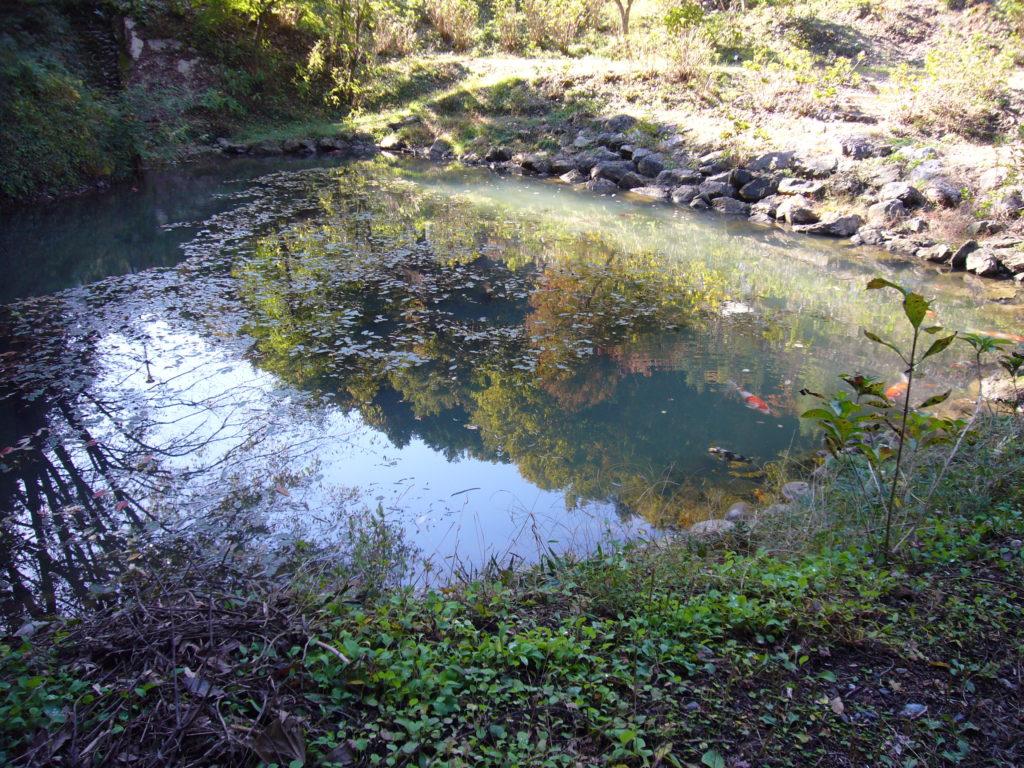 池の中を泳ぐ錦鯉
